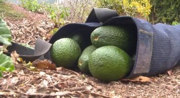 Aguacate Camposol video